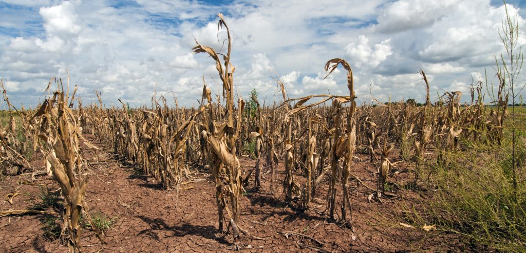 Drought ruined crops in Texas